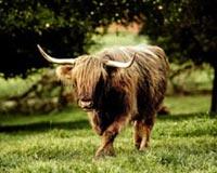 Angry Bull 01