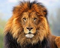 Big Cats Lions