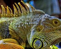 Iguana In Malaysia