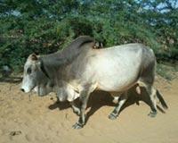 Zebu Traditional Cow