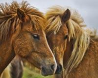 Twins Horse