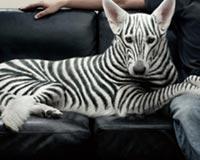 Zebra Felts Dog