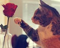 Odtwarzanie kot Rose