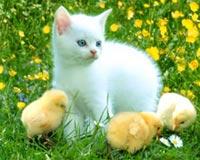 civciv kedi