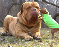 80 kg Dog with Small Friend